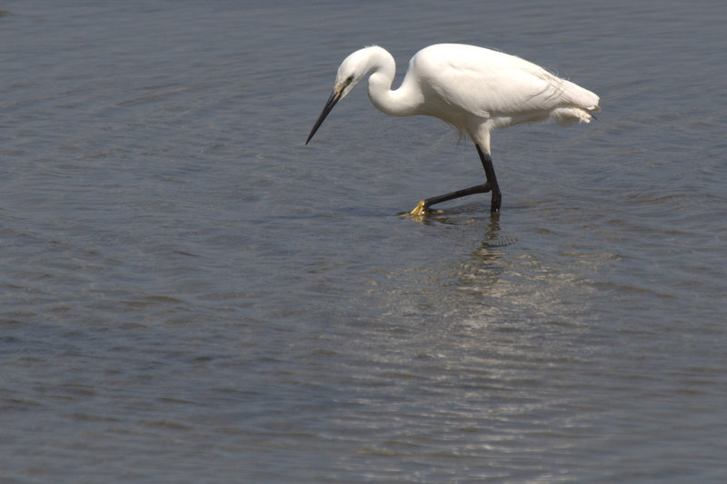 Little egret in the Golfe du Morbihan
