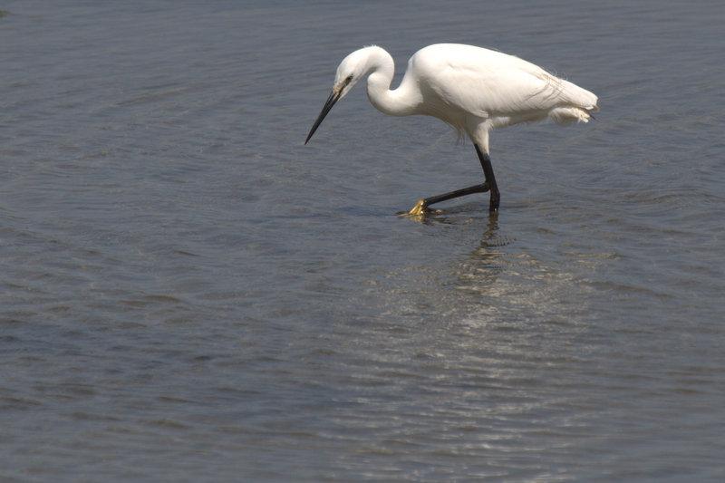 Little egret in the Golfe du Morbihan