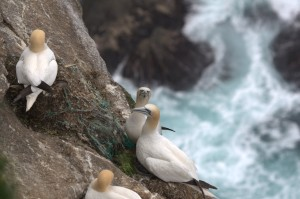 Gannet nest on Hermaness