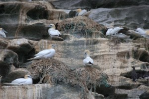 Gannet nest using fish net