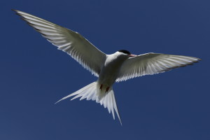 Arctic tern on the Holm of Papay.
