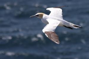 Adult gannet gliding
