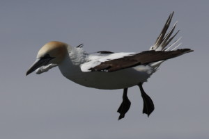 Immature gannet hovering, sacrificing style for a nice steady hover.