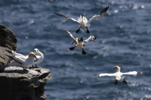 Both adult and juvenile gannets hang out at this promontory.