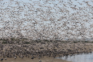 Flock of waders landing on a small beach
