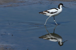 Avocet in shallow water