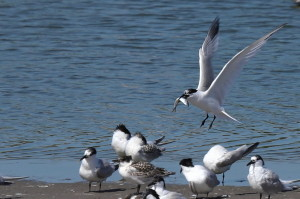 Sandwich terns and chicks