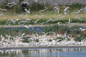 A small part of the colony of Sandwich terns