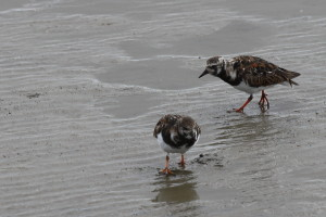 Turnstones on a mudflat