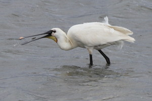 Spoonbill eating a mussel