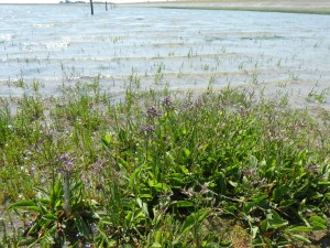 Salt marsh at high water